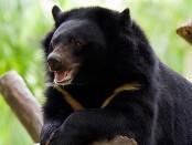 Ázsiai fekete medve